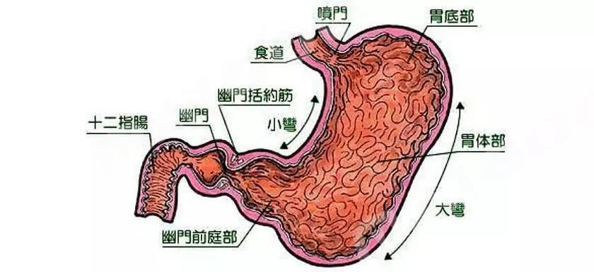 胃的结构图